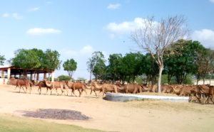 Camel research center at Bikaner