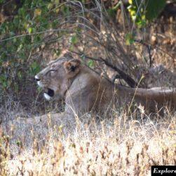 Lion safari in Gir forest