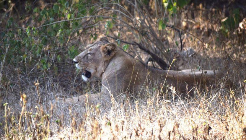 guide Lion safari Gir forest national park