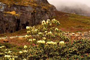 Valley of flowers Yumthang
