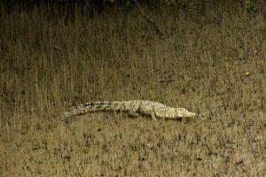 Salt water crocodile of Sundarban