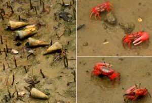 Red crabs in Sundarban Forest