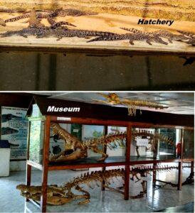 Dangamal crocodile museum and farm